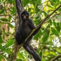 ecovolontariat pour l'étude des mammifères de la forêt amazonienne